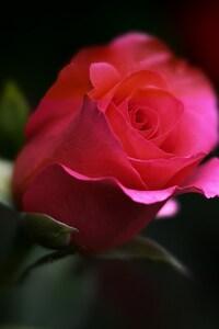 320x480 Rose Flower
