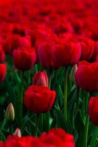 240x400 Rose Garden