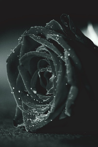 Rose Monochrome Flora Dew Waterdrops