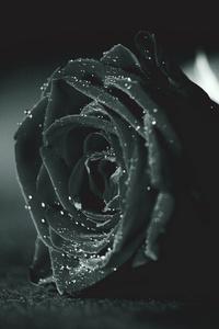 1080x2280 Rose Monochrome Flora Dew Waterdrops