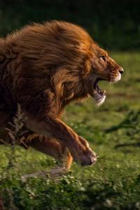 Running Lion 4k