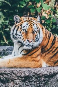 Safari Tiger 4k