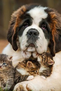 1125x2436 Saint Bernad Playing With Kittens