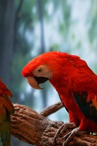 480x854 Scarlet Macaw 5k