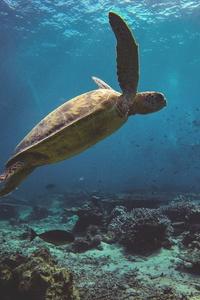 1242x2688 Sea Turtle 4k