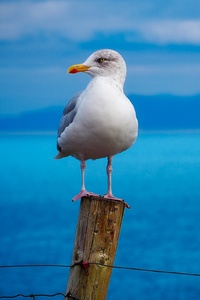 1080x2160 Seagull Birds Hd