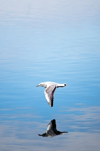 640x960 Seagull Flying Over Body Of Water