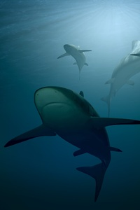 Sharks 4k