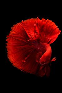 2160x3840 Siamese Fighting Fish 4k