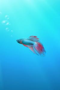 240x400 Siamese Fish