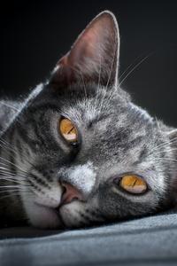 2160x3840 Siberian Cat 4k