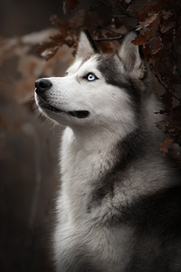 1080x2280 Siberian Husky Dog Breed