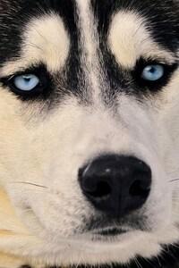 1125x2436 Siberian Husky Eyes