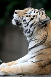 640x1136 Siberian Tiger 5k