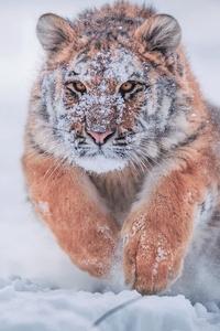 1080x2280 Siberian Tiger In Snow