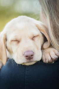 1125x2436 Sleeping Labrador Retriever In Girls Arms