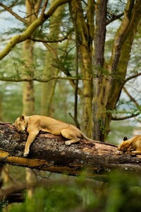 1080x2160 Sleeping Lions