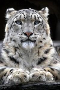 480x854 Snow Leopard 2