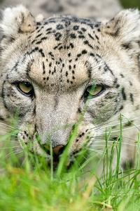 1080x2160 Snow Leopard Glance 4k