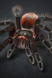 Spider Tarantula Arachnophobia Insect Macro