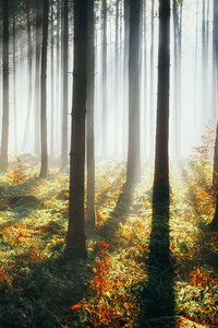 1242x2688 Sunbeams Morning Forest 4k