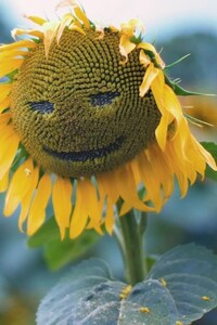 1440x2960 Sunflower Smiley