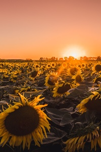 1440x2560 Sunflowers Farm Golden Hour 5k