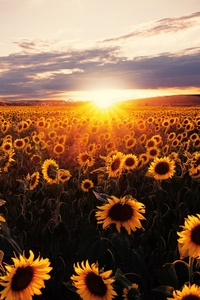 800x1280 Sunflowers Field Sunrise 5k