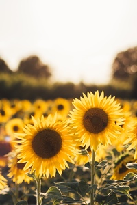 720x1280 Sunflowers