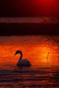 1440x2560 Swan Bird Lake 5k