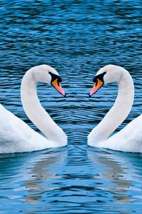 240x320 Swan Love Birds