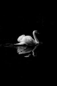Swan Monochrome 4k