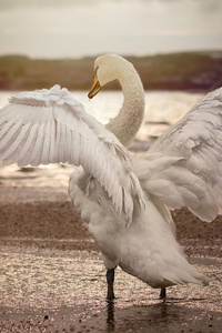 480x800 Swan Opening Wings 4k