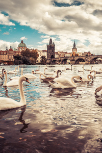 Swans Moldau River Czech Republic 5k