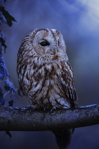 800x1280 Tawny Owl In Moonlight