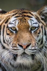 Tiger 4k Hd
