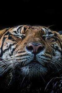 Tiger 5k