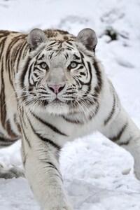 Tiger Albino 1