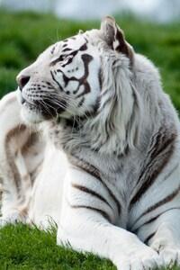 Tiger Albino 2