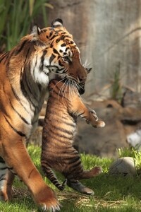 240x320 Tiger Carrying Cubs