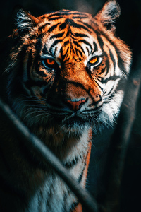 720x1280 Tiger Close Up