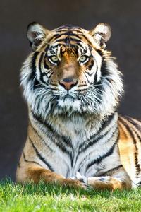 320x480 Tiger Look 4k