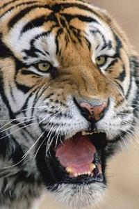 640x1136 Tiger Roaring
