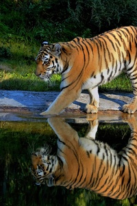 320x480 Tiger Walking On The Pond Way