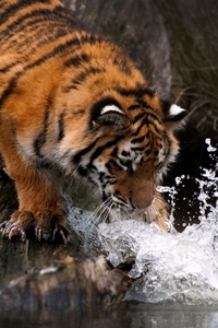 Tiger Water 4k