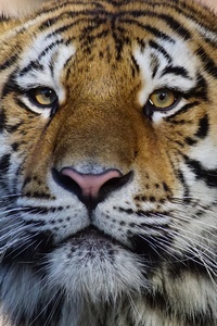 Tiger Wild Animal 4k