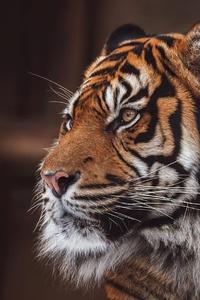 1080x2280 Tiger Wild