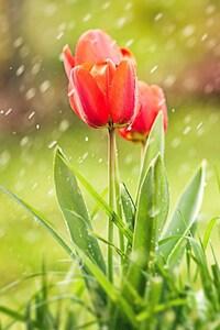 Tulip Rain HD