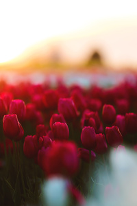 320x480 Tulips Flowers Field