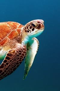Turtle Reptile Underwater